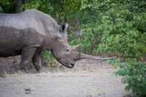 Black Rhino with a very impressive horn in Etosha National Park Namibia - Diceros bicornis