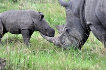 Black Rhinoceros and Son
