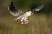 Black-shouldered Kite With Prey by Ofer Levy