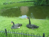 Black Swans in park Netherlands