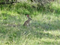Black-Tailed Jackrabbit Dripping Springs Texas
