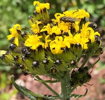 Black-Tipped Ragwort looks like amp attracts flies - Senecio atratus