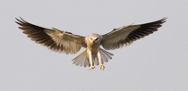 Black-winged Kite from Mumbai India