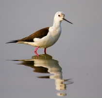 Black-winged Stilt from Mumbai India