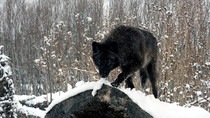 Black wolf in the snow Canis lupus