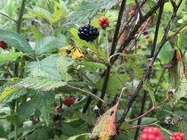 Blackberries and thorns in East Tennessee