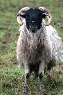 Blackface Sheep Ovis aries