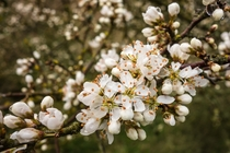 Blackthorn flowers Prunus spinosa
