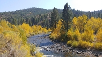 Blazing yellows along the Carson River Alpine County CA