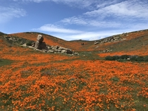 Blink and youll miss the annual poppy bloom in the Antelope Valley California