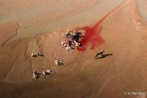 Blood River - Aerial view of a pride of  lions feeding on a buffalo killed in the White iMfolozi riverbed Antoine Marchal