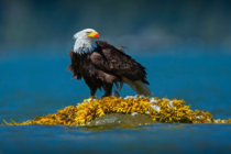 Blood White and Blue - Bald Eagle photo by Neil Aldridge