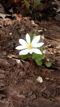 Bloodroot blooming in Michigan
