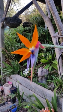 Blooming anti-clockwise in the most exquisite way Crane flower birds of paradise