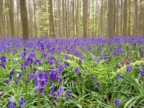 Blooming bluebell Hyacinthoides non-scripta in Hallerbos Halle Belgium