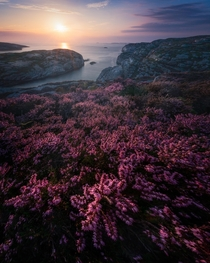 Blooming heather catching the last light at Turoy Norway
