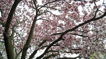 Blooming Magnolia tree covering the grey sky Detroit Michigan