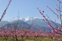 Blooming orchards with Spanish Pyrenees in the background