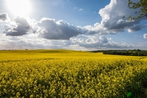 Blooming rapeseed on the rolling hills of Mecklenburg Germany