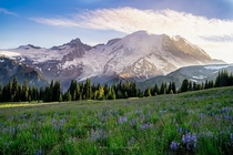 Blossomed meadows at Mount Rainier National Park  WA