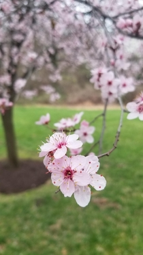 Blossoms in Spring Germantown Maryland OC X