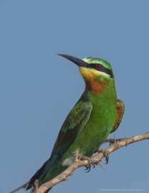 Blue-cheeked Bee-eater - Merops persicus -