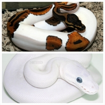 Blue eyed leucistic python and pied ball python x