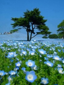 Blue fields at the Hitachi Seaside Park in Japan