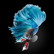 Blue Half-Moon Betta