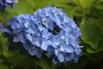 Blue Heart-shaped Hydrangea