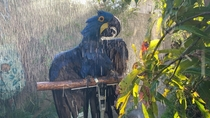 Blue Hyacinth Macaw enjoying some warm rain