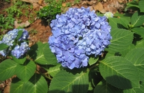 Blue hydrangea Hydrangea macrophylla photo by Vina Yaraj