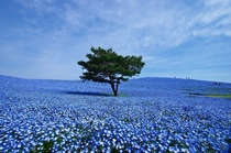 Blue nemophilias - Hitachi Seaside Park Japan