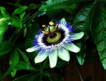 Blue Passion Flower Passiflora caerulea from our garden