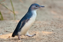 Blue Penguin out for a stroll Eudyptula minor