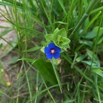 Blue Pimpernel Anagallis arvensis Point Reyes National Seashore California
