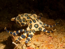 Blue-Ringed Octopus Hapalochlaena