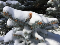 Blue Spruce bough - Picea pungens