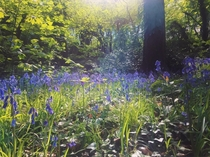 Bluebell forest England Bristol