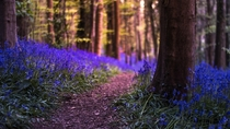 Bluebell Forest in Warrenpoint  Northern Ireland