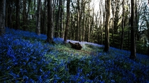 Bluebell Forest Ireland  Warrenpoint