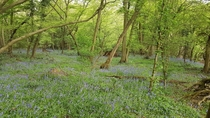 Bluebell Forest Kent England