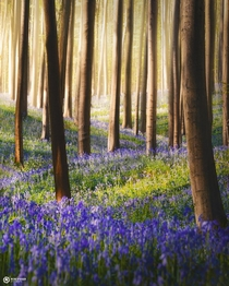 Bluebell lane please dont step on these flowers Hallerbos Belgium