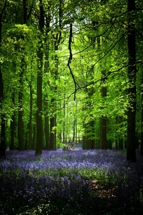 Bluebell Wood Dunstable UK