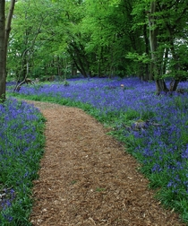 Bluebell Woodland Norfolk UK