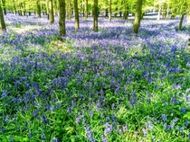 Bluebell Woods at Ivinghoe United Kingdom