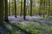 Bluebell woods - Oxfordshire England