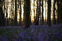 Bluebells at sunset Nottinghamshire England