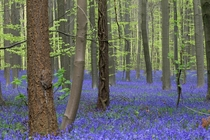 Bluebells in bloom near Halle south of Brussels Belgium on April   AP Photo by Yves Logghe