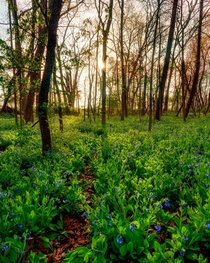 Bluebells in Cuyahoga Valley National Park
